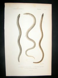 Cuvier C1840 Antique Hand Col Print. Snakes 24